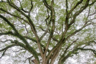 spreading-branches